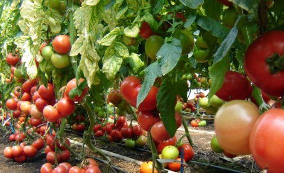 Македонија 27-ма по извоз на домати во светот
