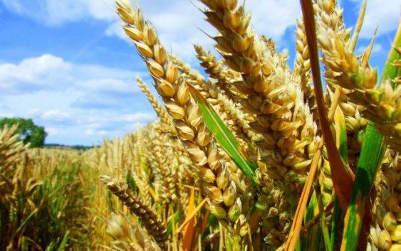 МЗШВ: Жетвата заврши, пченицата се откупува по цена од 9 до 10,5 денари по килограм