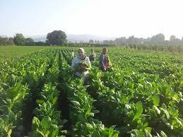 Photo of Тутунарите бараат подобар начин на осигурување на земјоделските производи