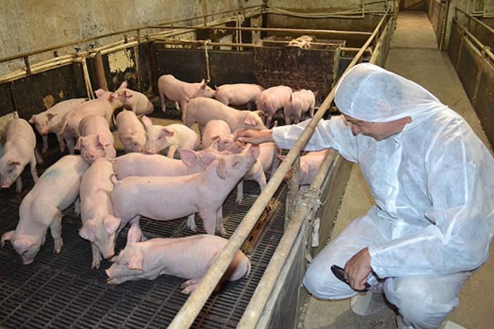 Photo of Акциски план на АХВ во фармите за одгледување свињи – што покажаа резултатите?