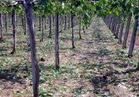 """""""Напредни лозари"""" го мониторира откупот на грозјето, поголеми проблеми нема"""