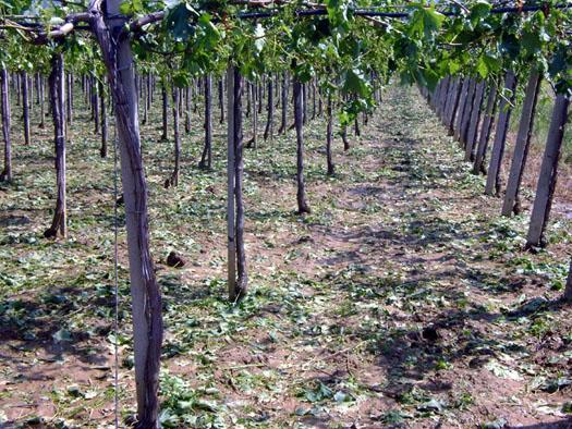 """Photo of """"Напредни лозари"""" го мониторира откупот на грозјето, поголеми проблеми нема"""