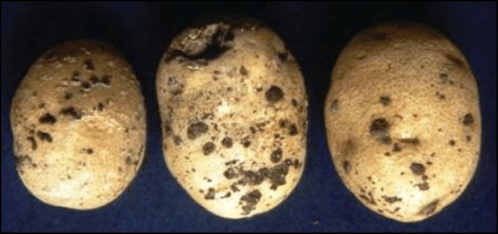 Photo of Шупливо и црно срце – две нарушувања кај компирот
