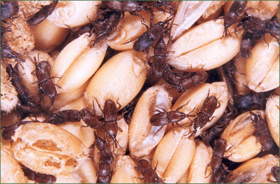 Photo of Најчести складишни штетници – како правилно да ги заштитите житариците, мешунките и другите култури