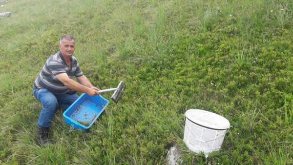 Photo of Одгледувајте боровинки: За еден ден се вади цела плата, за сезона добар автомобил