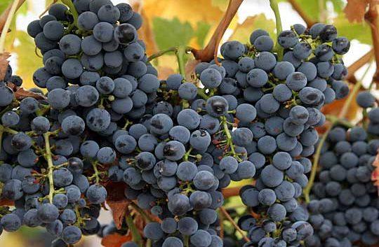 Во штипскиот регион во полн ек бербата на грозјето