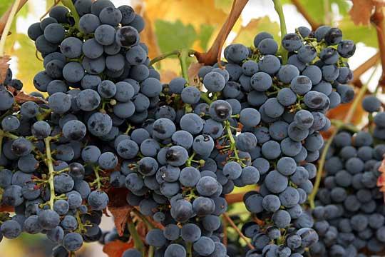 Photo of Во штипскиот регион во полн ек бербата на грозјето