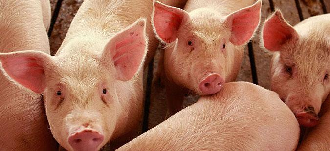 Photo of Зајакнување на биосигурносните мерки во свињарството