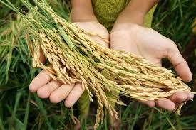 Зажнеани првите снопови ориз во Облешевско