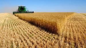 Просечната откупна цена на пченицата е 9 ден/кг