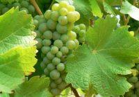 """Се враќа интересот за старата и подзаборавена сорта грозје """"темјаника"""""""