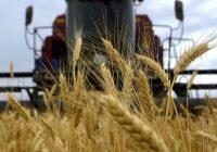 Македонија извезува пченица, а увезува брашно