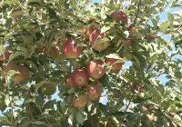 Овоштарите бараат субвенции за индустриското јаболко