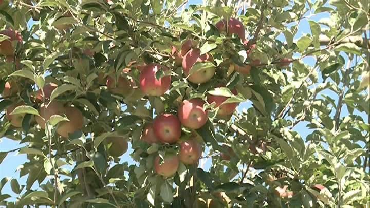 Photo of Овоштарите бараат субвенции за индустриското јаболко