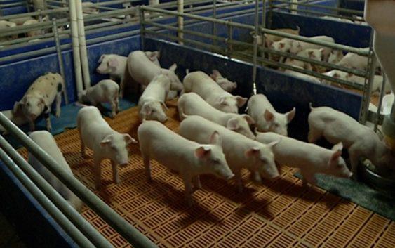 Африканска свинска чума се шири низ Европа