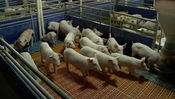 Photo of Африканска свинска чума се шири низ Европа