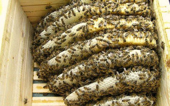 Македонска кошничка ги спасува пчелите од изумирање
