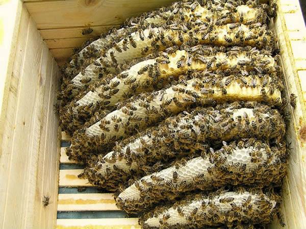 Photo of Македонска кошничка ги спасува пчелите од изумирање