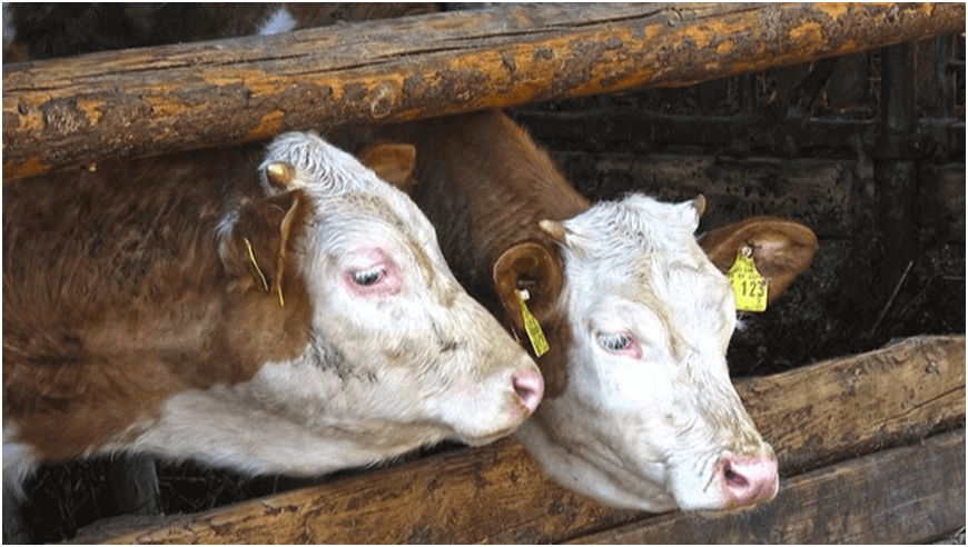 Photo of Обезрожување на говедата – зошто е важно и како да го направите