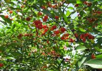 Сакате да засадите вишни и цреши? Подгответе го земјиштето на вистинскиот начин