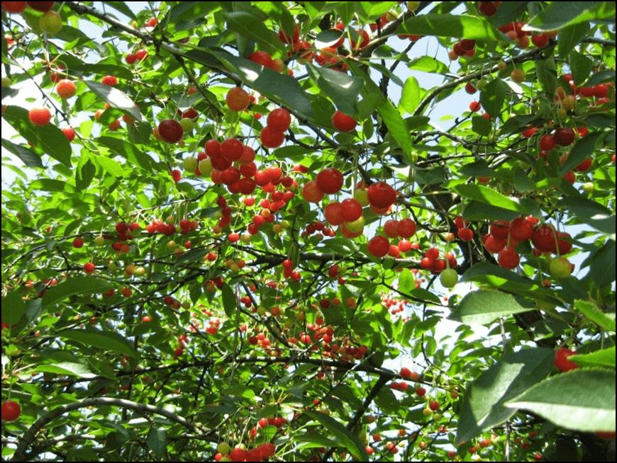 Photo of Сакате да засадите вишни и цреши? Подгответе го земјиштето на вистинскиот начин