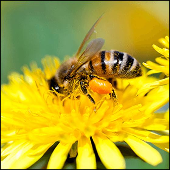 Photo of И пчели и заштита: Никотинот како органски инсектицид