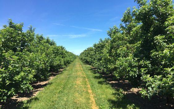Одобрена субвенција од 3 денари по килограм за индустриски јаболка