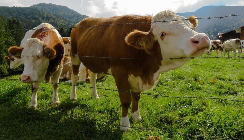 Photo of Во тек аплицирањето за субвенции за трета фаза произведено и предадено млеко