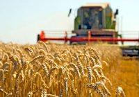 Поради ниските откупни цени нема интерес за сеидба на пченка и пченица