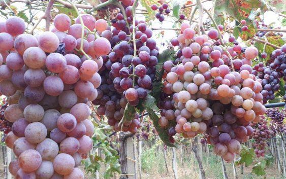 Македонско грозје од Витторија фрут на странските трпези