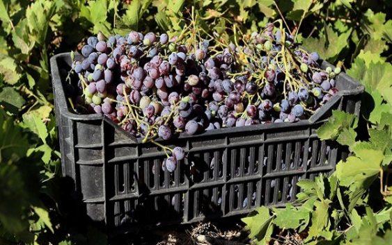 Германија ја очекува најдобрата берба на грозје од 1999-та