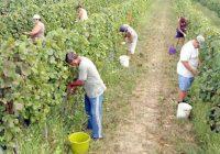 Грозјето собрано, аргатите се вработија во новоотворените фабрики во Тиквешијата