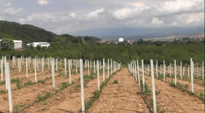 Photo of Се зголемуваат насадите со малина во Пијанечкиот регион