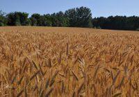 Во Сирија најмалку пченица во последните 30 години