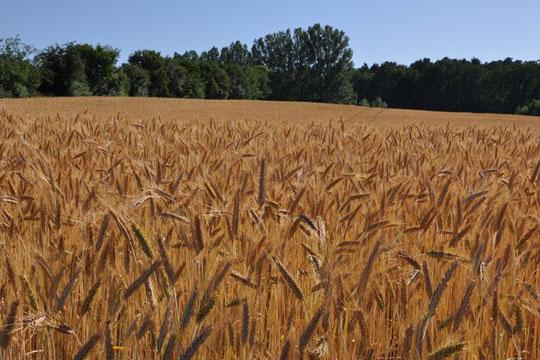Photo of Во Сирија најмалку пченица во последните 30 години