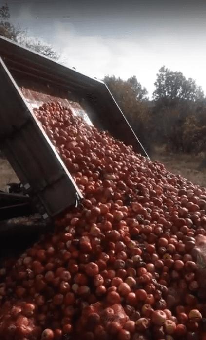 Photo of БОЛНА РЕАЛНОСТ: Ресенските индустриски јаболка ги откупуваат по еден денар за килограм!
