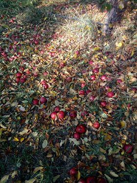 Photo of Градот јаболката, а цените на трговците ги уништуваат овоштарите