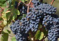 Почна аплицирањето за добивање на финансиска поддршка за произведено и предадено грозје