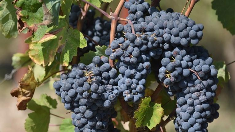 Photo of Почна аплицирањето за добивање на финансиска поддршка за произведено и предадено грозје