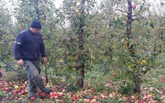 Поради ниската цена голем дел од индустриското јаболко ќе остане несобрано