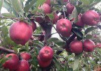 Започна поднесувањето на барања за субвенции произведени и предадени јаболки од реколта 2018-та