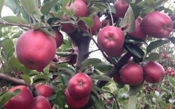 Откупната цена на јаболкото пониска од производната