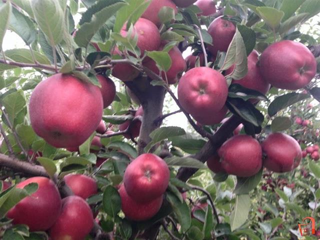 Photo of Откупната цена на јаболкото пониска од производната