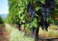 Во тек аплицирањето на лозарите за субвенции за предадено грозје во регистрирани визби
