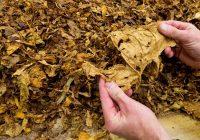 Се чека почетокот на откупот на тутунот