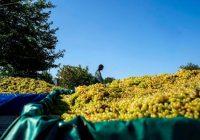 Лозари заминаа на рочиште во Гостивар, бараат пари за грозјето од 2015 година