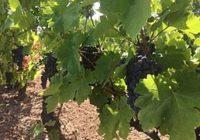 Субвенциите за откупеното винско грозје до средината на февруари