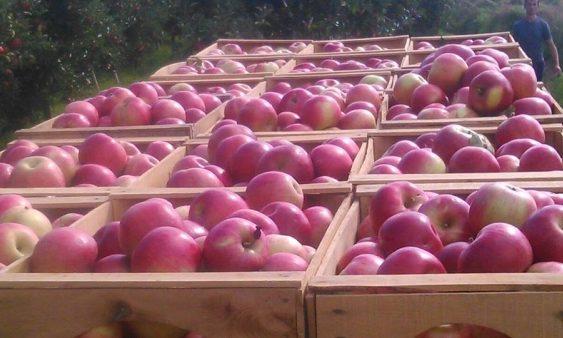 Еден месец по воведувањето на новата интервентна мерка, откупена е една третина од индустриското јаболко