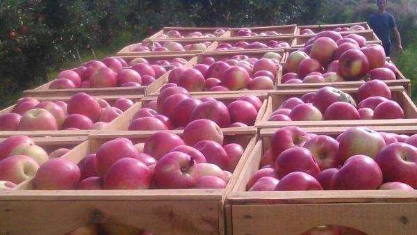 Photo of Еден месец по воведувањето на новата интервентна мерка, откупена е една третина од индустриското јаболко