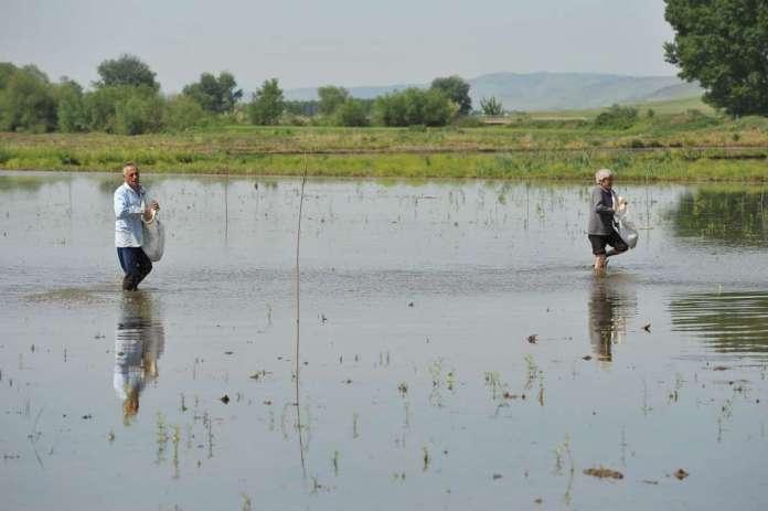 Photo of Оризопроизводителите жнеат загуби